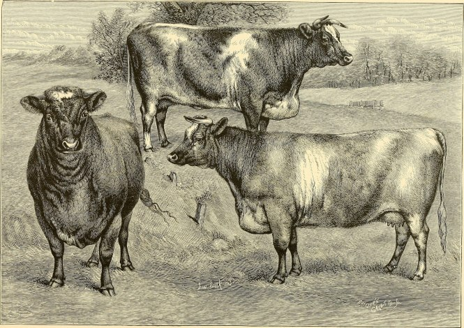 shorthorn cattle